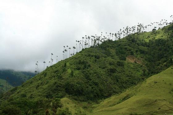 dolina-kokora-samye-vysokie-palmy-v-mire-4