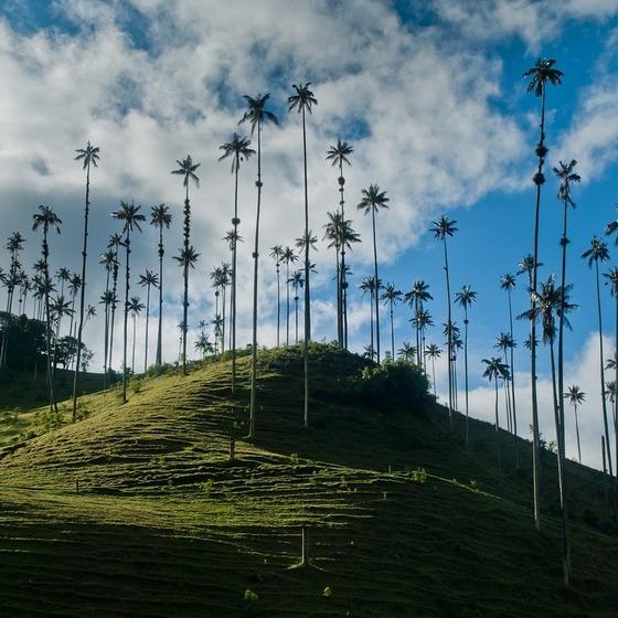 dolina-kokora-samye-vysokie-palmy-v-mire-5