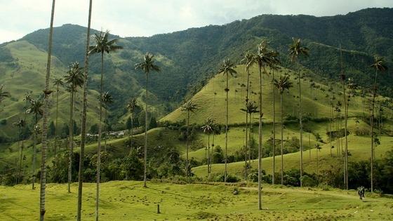 dolina-kokora-samye-vysokie-palmy-v-mire-7