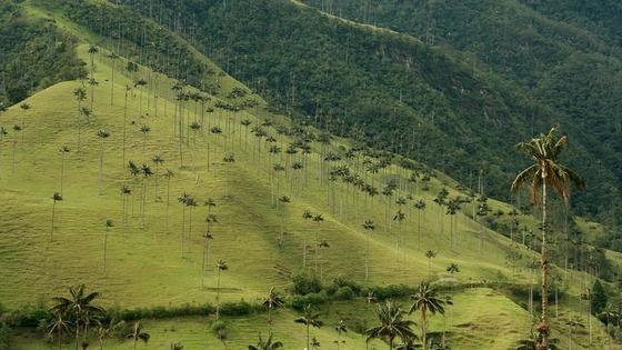 dolina-kokora-samye-vysokie-palmy-v-mire-8